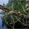 Adirondacks Newcomb Lake Deadfall with Moss 1 July 2017