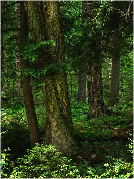 Adirondacks Forked Lake Trees June 2008