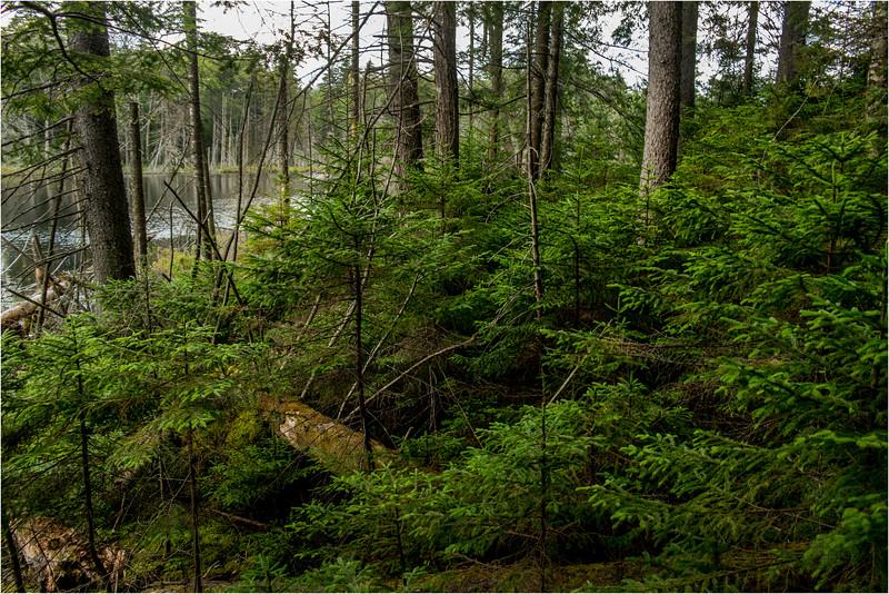 Adirondacks July 2015 Barker Pond Woods 2