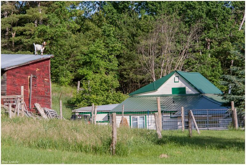 Goat on Barn Roof Near Asgaard Farm & Dairy