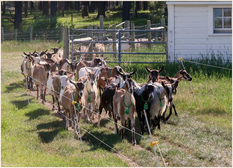 Asgaard Goat Herd