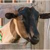Nanny Goat at Asgaard Farm & Dairy