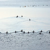 Canadian geese making waves