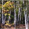 Study of birches near Tupper Lake, NY