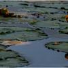 Adirondacks Forked Lake July 2015 Yellow Waterlily Lilypads 1