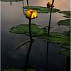 Adirondacks Forked Lake June 2010 Morning Yellow Lily