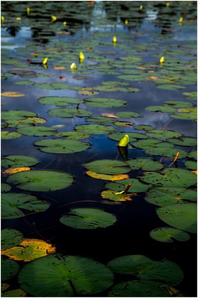 Adirondacks Chateaugay Lake Lilypads 2 July 2016