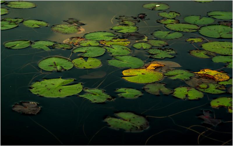 Adirondacks Forked Lake August 2015 Lilypads After Sunrise 3