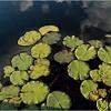 Adirondacks Forked Lake Lilypads North Bay August 2013