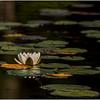 Adirondacks Bog River Waterlily 4 August 2013