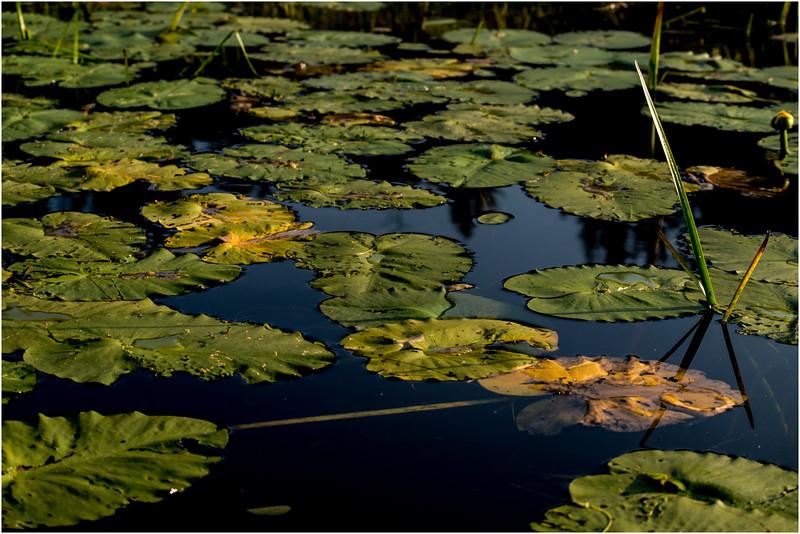 Adirondacks Forked Lake July 2015 Lilypads 3