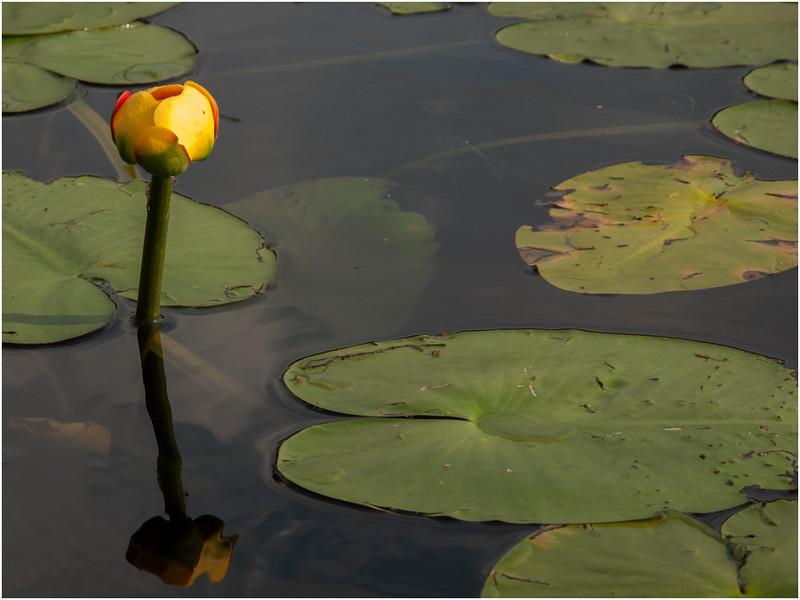 Adirondacks Forked Lake Yellow Waterlily 2 July 2011