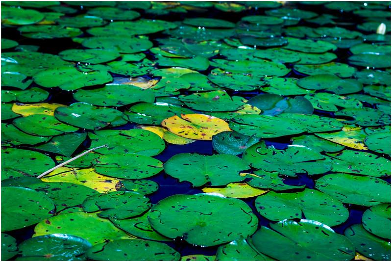 Adirondacks Round Lake Whitney Wilderness Lilypads 9 July 2016