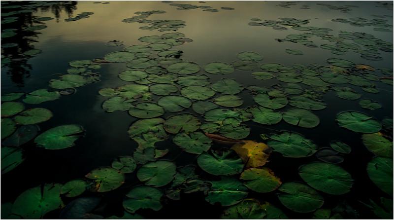 Adirondacks Forked Lake August 2015 Lilypads Before Sunrise 2