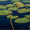 Adirondacks Forked Lake July 2015 Lilypads 4