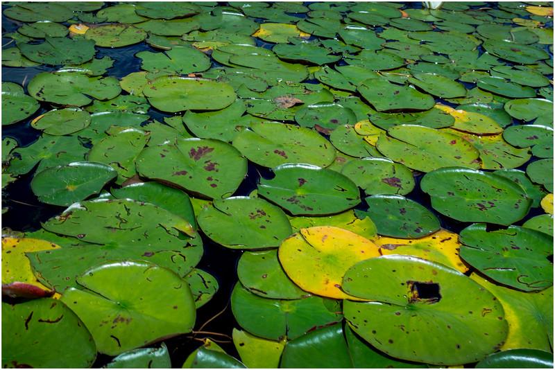 Adirondacks Round Lake Whitney Wilderness Lilypads 2 July 2016