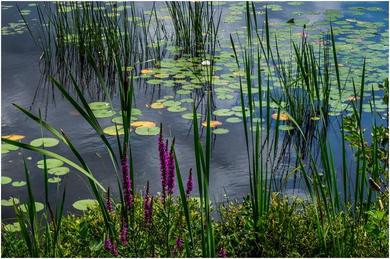 Adirondacks Chateaugay Lake Lilypads 3 August 2017