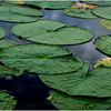 Adirondacks Chateaugay Lake Lilypads 27 August 2017