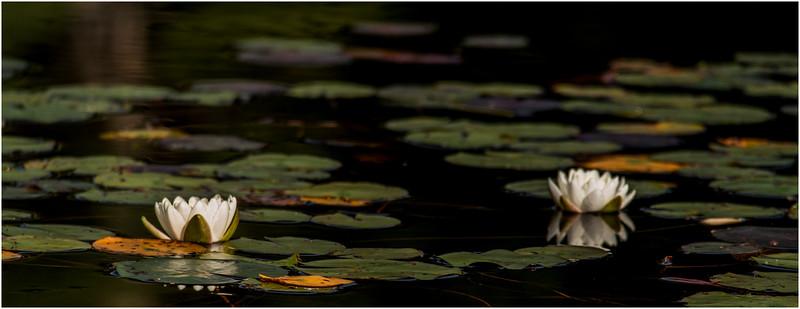 Adirondacks Bog River Waterlilies August 2013