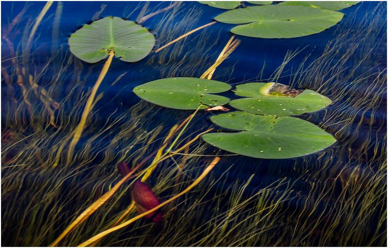 Adirondacks Forked Lake Inlet Lilypads 1 July 2017
