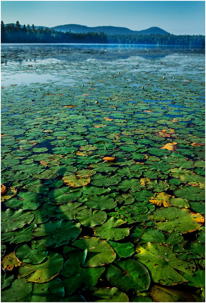 Adirondacks Forked Lake Lilypads 1 August 2016