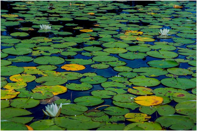Adirondacks Round Lake Whitney Wilderness Lilypads 5 July 2016