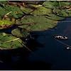 Adirondacks Forked Lake July 2015 Lilypads 1