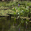Pickerel weed in Hoel  Pond