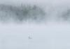 Lake Eaton Loon