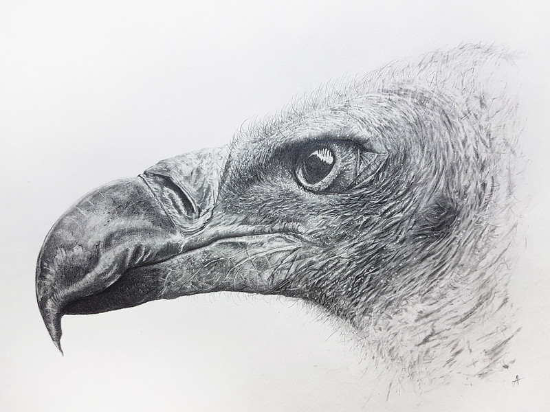 White Backed Vulture as drawn by Antony Poynton