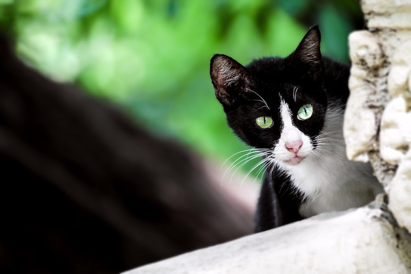 A Black and White Cat Peering from the Rooftop of Temple in Phnom Penh, Cambodia