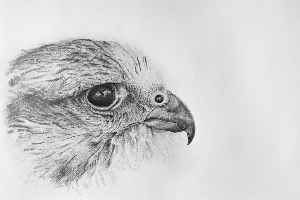 Saker Falcon by Antony Howard Poynton