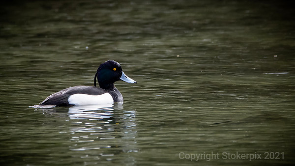 Don't call them Tufted Duck for nothing