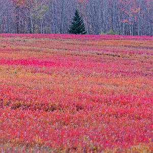 Autumnal blueberry field and fir tree, Maine, USA