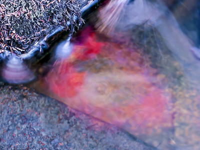 Red maple swirl, New Hampshire, USA