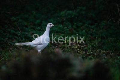 Albino Pheasant!
