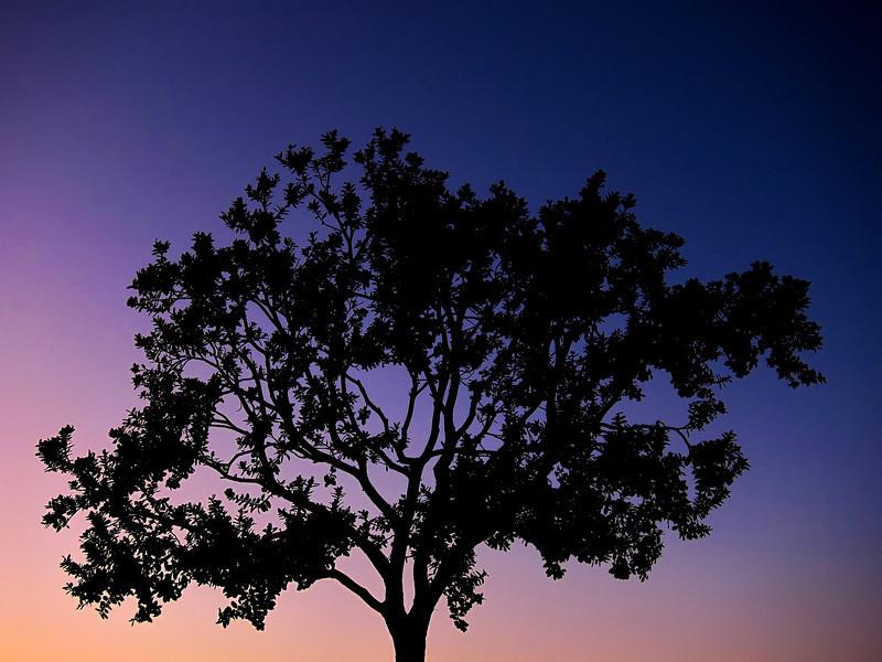 EveningTree-Original-JustinShifrin