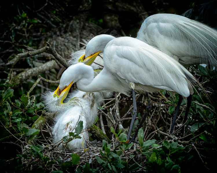 Two Great Egrets feeding two chicks in nest.  Alligator Farm Zoological Park, St. Augustine, Florida.