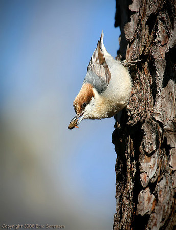 """Brown headed nuthatch"" by Eric Sorensen,<br /> Nature catagory,<br /> Score: 11"