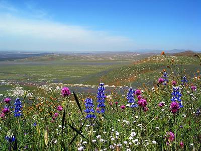 Arvin Wildflowers