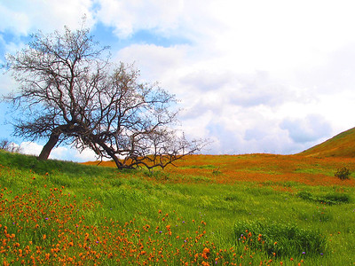 Fiddleneck and Tree
