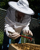 Kathleen Curtis, executive assistant to CHSS dean and member of the Beekeepers Association of Northern Virginia (BANV), checks on colonies of bees maintained on Fairfax Campus. The bee colonies are maintained by members of the BANV, with help of a grant from the Office of Sustainability, and used in educational workshops through the Mason Sustainability Institute. Photo by Alexis Glenn/Creative Services/George Mason University