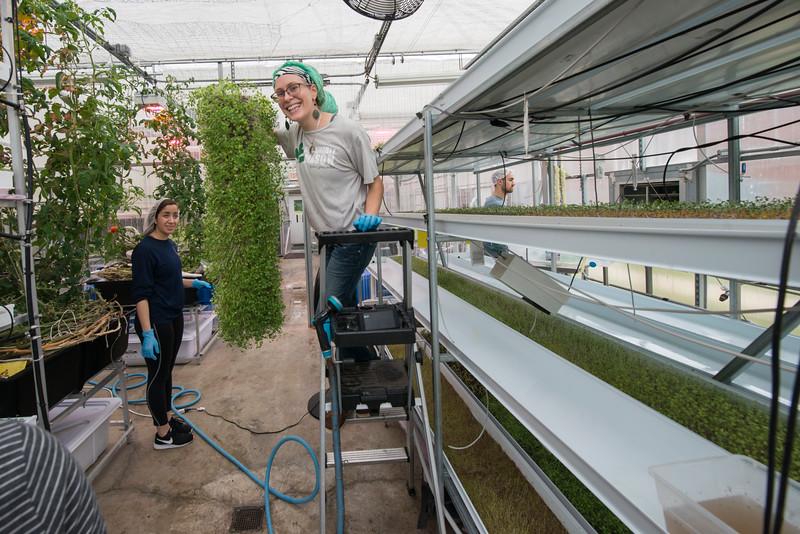 Presidents Park hydroponic greenhouse harvesting