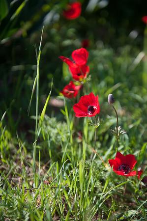 Adom b'Darom - red flowers