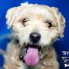 Tipper - Poodle mix