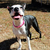 Joy, spayed female, up-to-date on vaccs, Needs a home! Please contact Susie Cobb @ (803) 279-8069 for more adoption information.