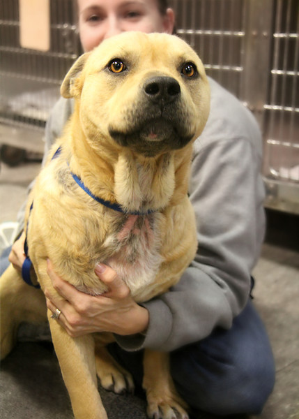 UPDATE: Found a home! Meet Otis, this guy was found on the streets, underweight, full of worms, and in need of medical care, and LOVE. He is a sweetie, very friendly (not the best with cats), but he will make a great lap dog. Appears to be appr one year old, maybe two. He is heartworm negative, and currently getting medication for his skin. Vaccinated and now neutered, he needs a loving home. Please message me for details on my website or through facebook.