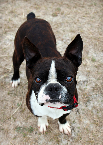 Benny, neutered male, up-to-date on vaccs, Needs a home! Please contact Susie Cobb @ (803) 279-8069 for more adoption information.