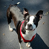 Sweet, gentle boy. 1-2 years old, neutered, heartworm negative. Up-to-date. He is with the Boston Terrier Rescue of SC. Please contact Susie Cobb @ (803) 279-8069 for more info, or adoption information. UPDATE- ADOPTED!