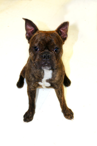 This is Sammy - Fun, energetic and sweet. Needs a forever home- Currently being fostered at Graced Kennels, please contact Graced @ (706) 738-7168 or Susie Cobb, with Boston Terrier Rescue, 706-726-2221 or 803-279-8069<br /> suzycobb@gmail.com